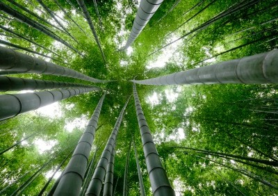 What can the Chinese Bamboo Teach You?